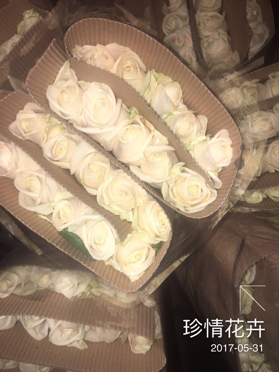 芬德拉 (20支/扎)