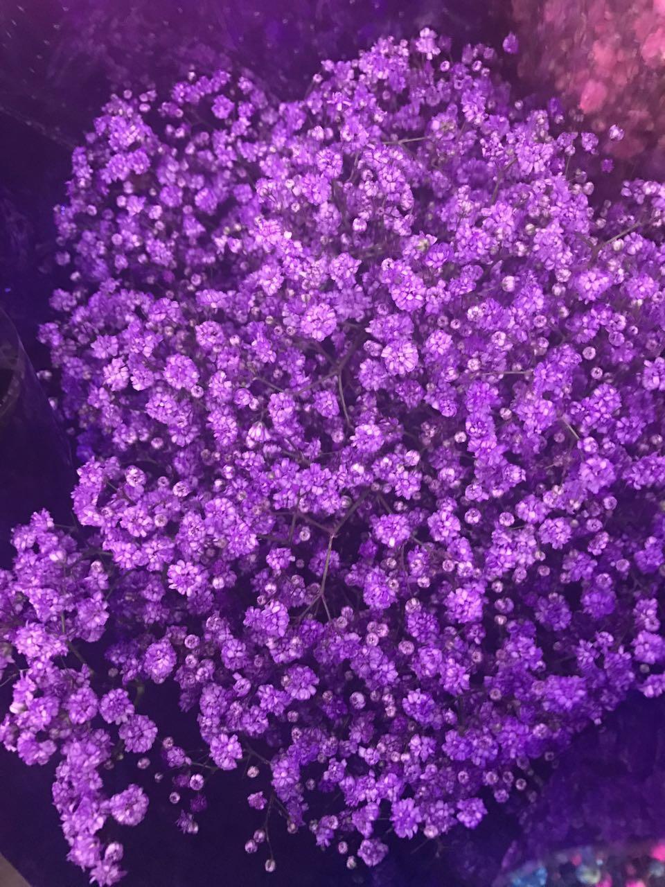 紫色满天星
