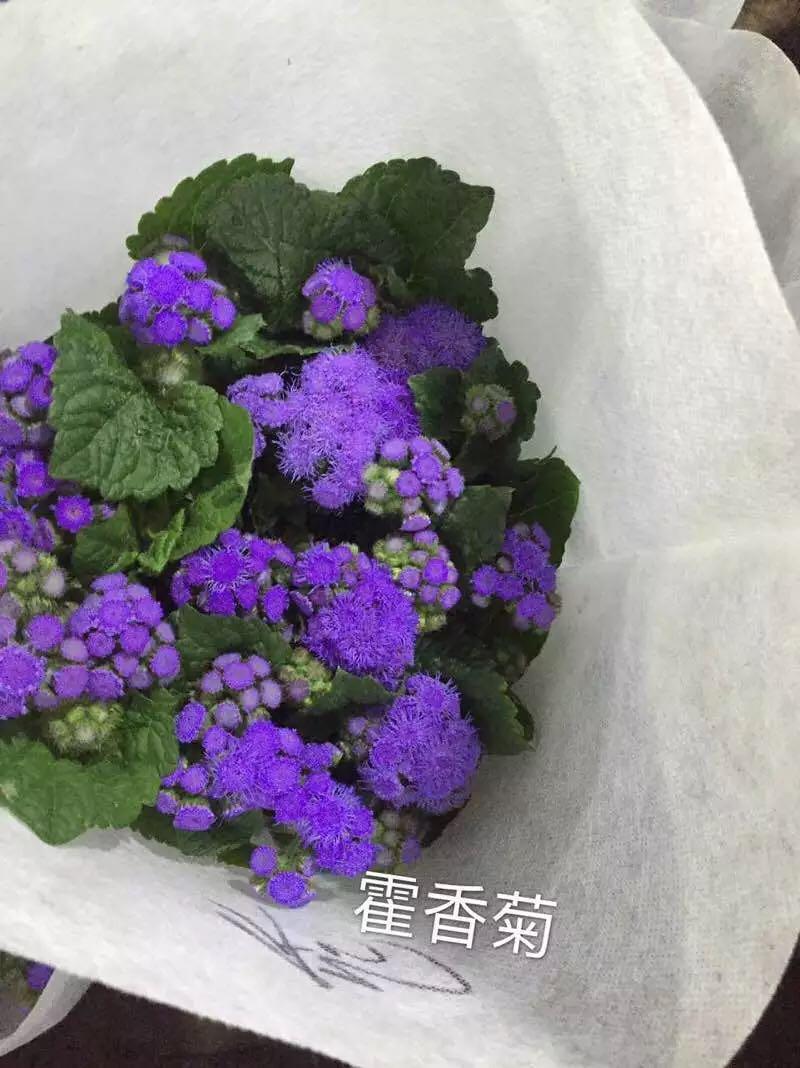 紫色藿香菊