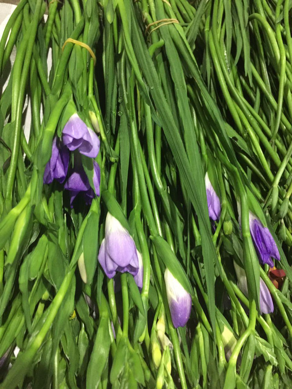香雪兰紫色