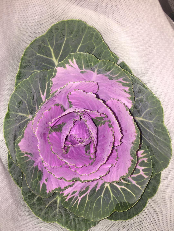 紫色叶牡丹