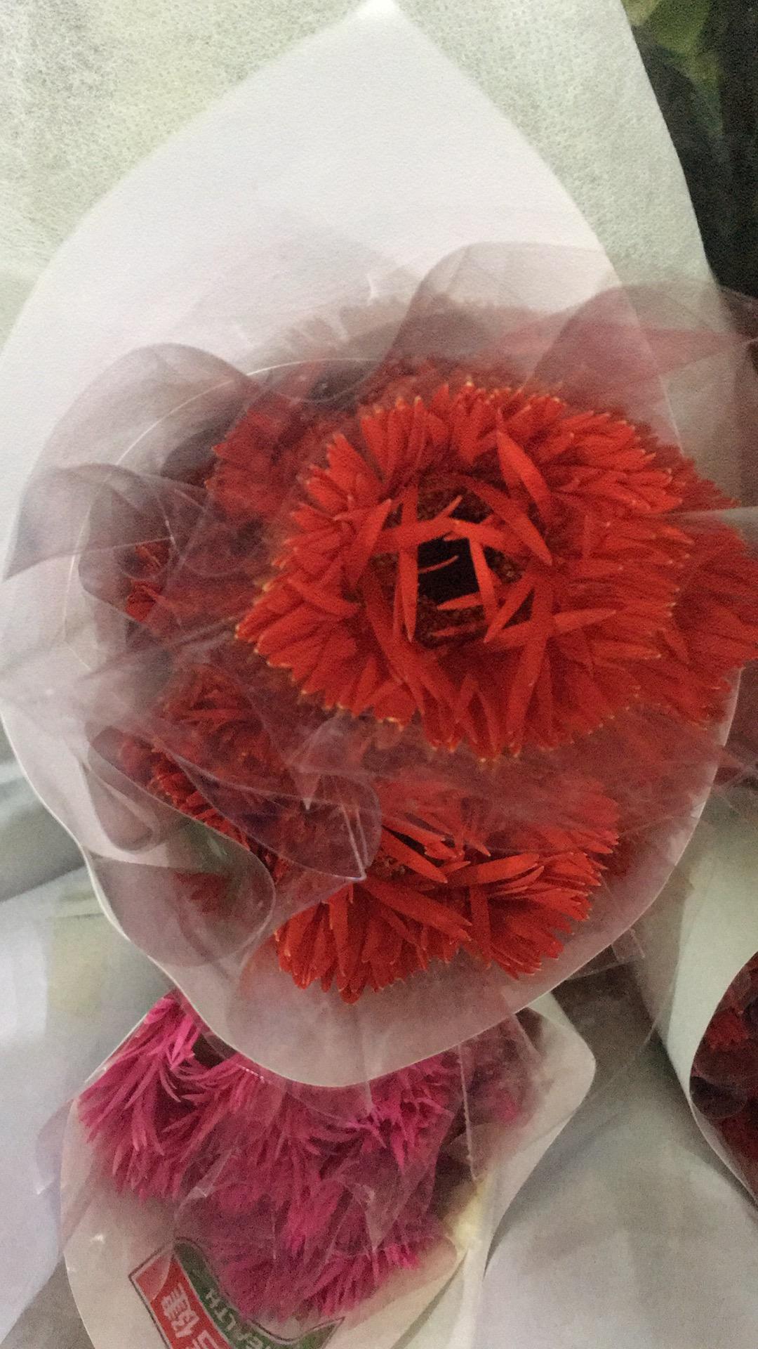 红拉丝非洲菊