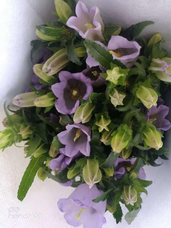 浅紫风铃花