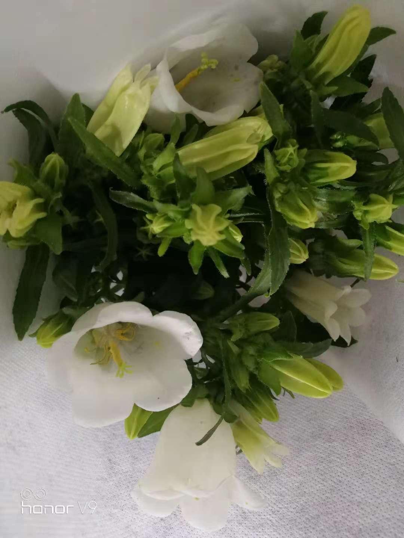 白色风铃花