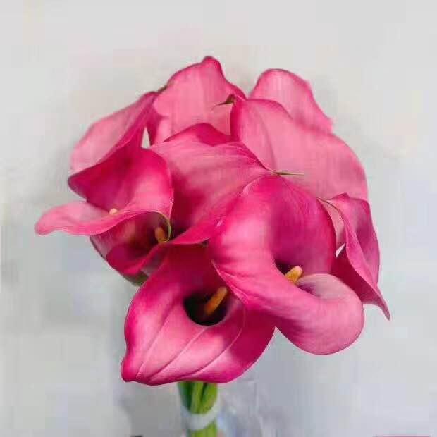 马蹄莲深粉色