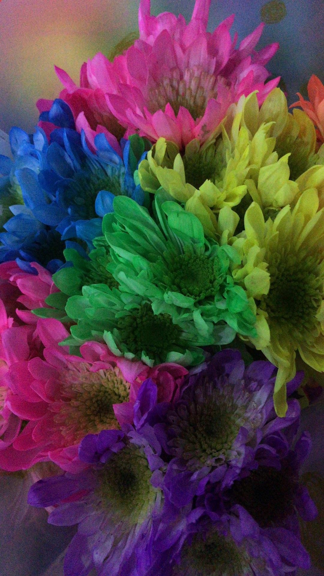 吸染彩虹菊