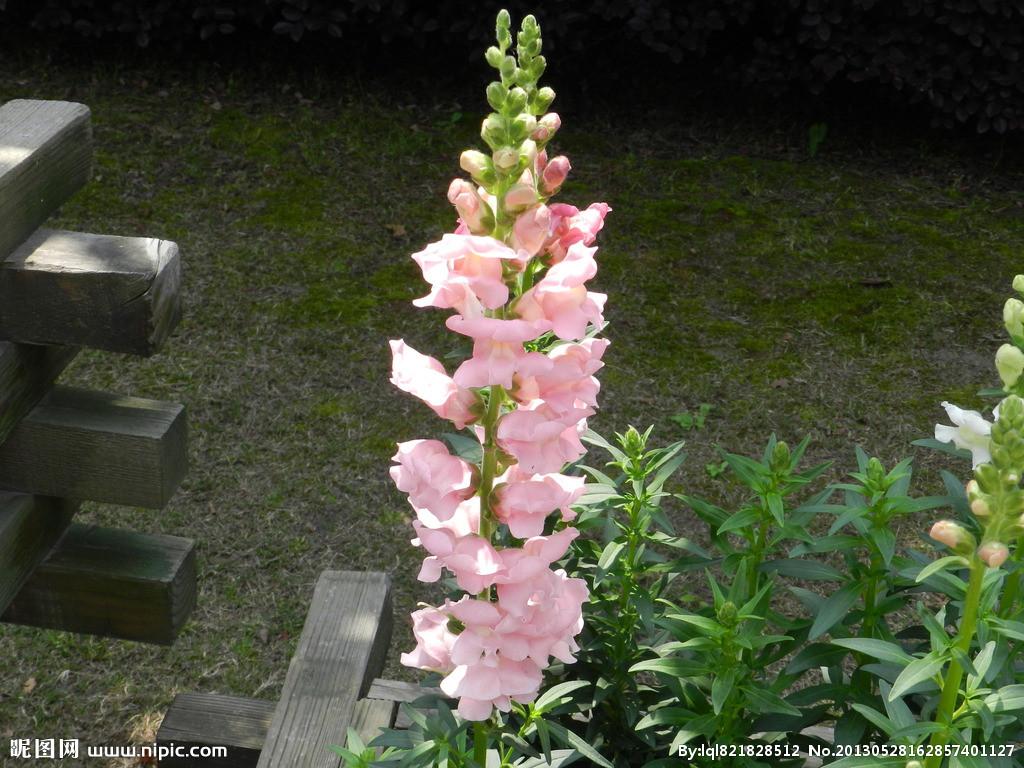 粉色金鱼草